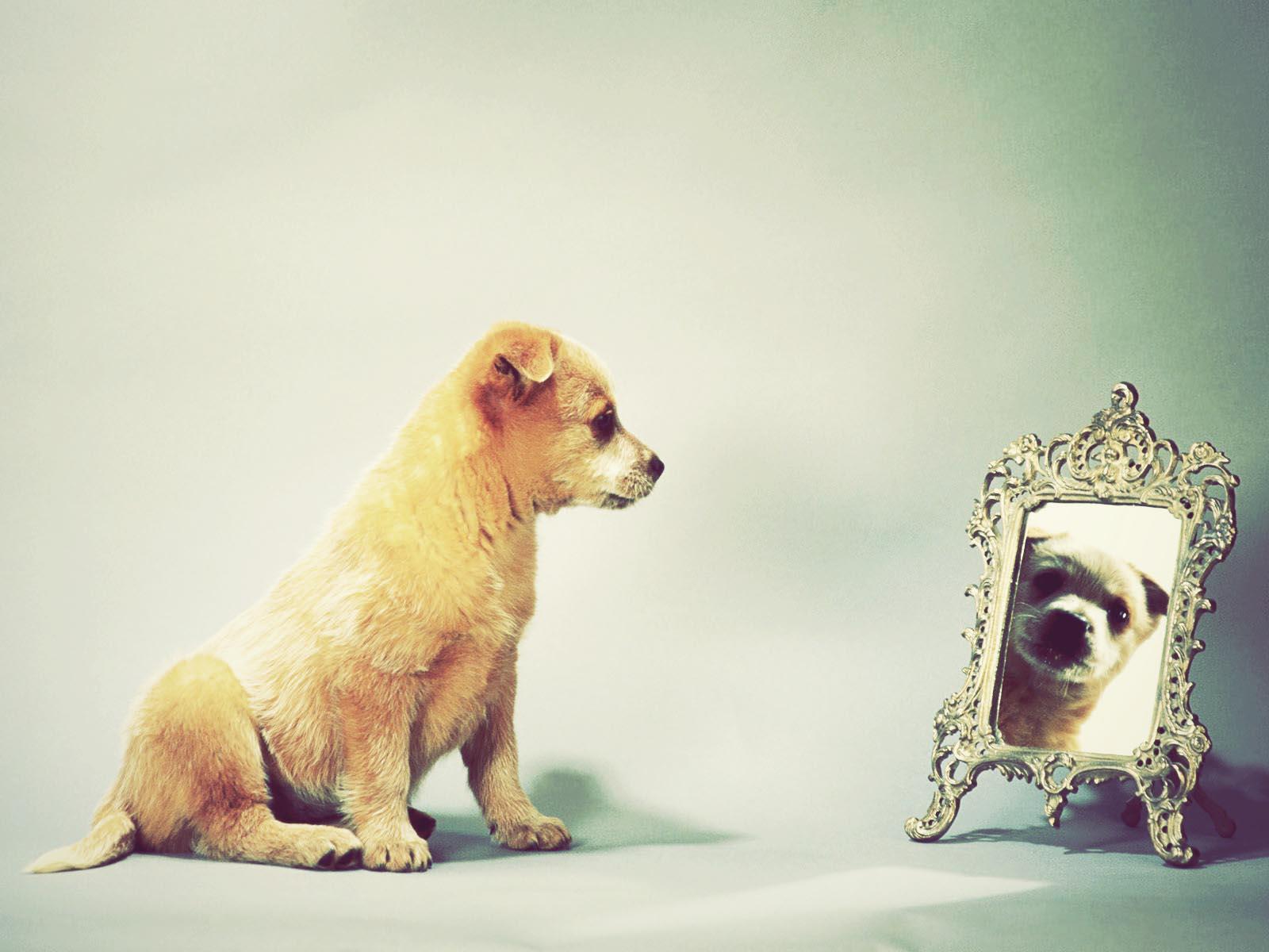 cachorro_australiano_olhando_no_espelho
